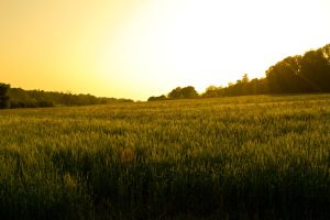 Field of Gold by Preachman