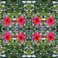 Quadrilaterally Symmetrical Stereo Pair Dahlia by aegiandyad