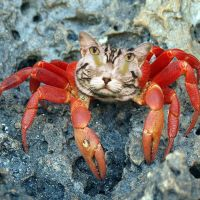 CAT CRAB by Fatsack