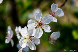 Cherry blossoms by a137