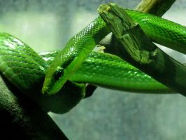 Green Snake by Astropteryx