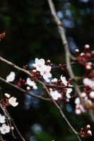 cherry blossom in Wales by 3hika
