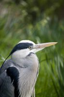 Heron Close up by CharmingPhotography