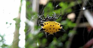 Yellow Spikey Spider by jeffrade