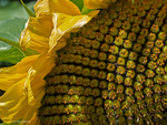 Sunflower close by Mogrianne