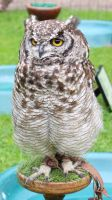 African Spotted Eagle Owl 2 by fuguestock