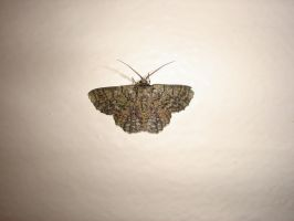 Moth 1 Stock by Waratahra-Stock