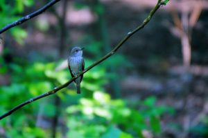 Spotted Flycatcher by OliverBPhotography