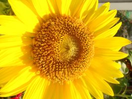 sunflower not as close by Designdivala