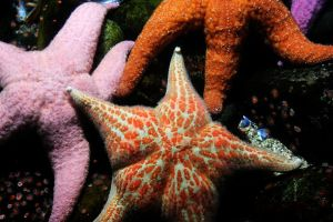 Starfish by CiindyCore