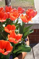 Tulips by EMGrapes