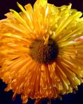 Large Yellow Flower Close Up by bloomingvinedesign