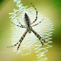 Young Argiope., by duggiehoo