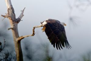 Bald Eagle Lift Off 2 by bovey-photo