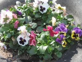 21513 Pansy Garden by crazygardener