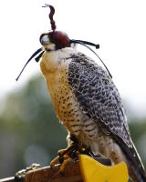 Falconry 3 by S-H-Photography