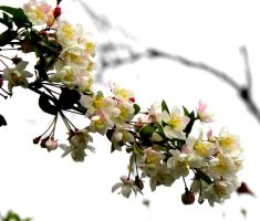 Apple Blossoms by 135711cal