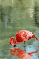 Virtuoz le Flamand Rose by JessicaSansiquet