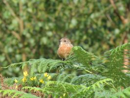 Young European Stonechat by Oddity-1991