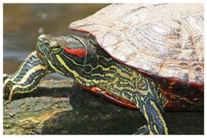 red-eared slider. by ahollowvoice