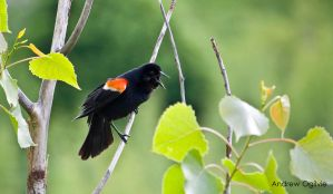 Red Wing Blackbird - 01 by PrimalOrB