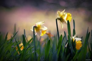 Daffodils by George---Kirk