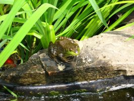 Froggy 01 by Mazzy12345