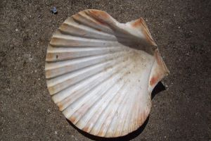 Seashell 11 by natureflowerstock