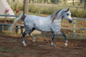 JA Arab lightdapple trot side on breyer doll pose by Chunga-Stock