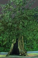Hollow Tree by airblue