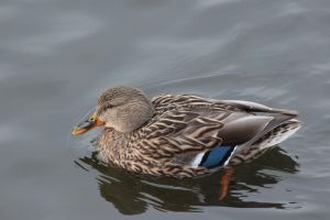 Duck 3 by wuestenbrand