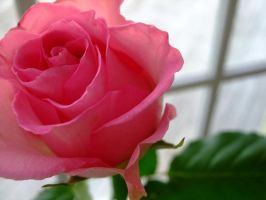 Pink Rose..window by cold-xx