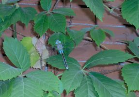 dragonfly by paolaquasar