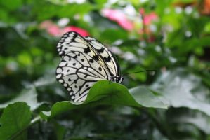 Butterfly 1 by Ezekeil42