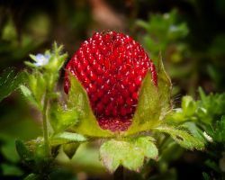 Wild Strawberry Looks Better Than by drhine
