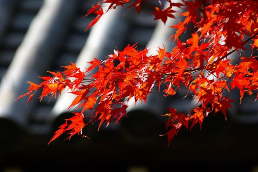 Momiji leafs, Kyoto, Japan by onkami