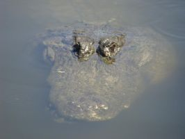 Florida Gator by migratingevilpoo