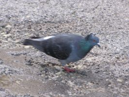 Feral pigeon (crested) by Faunamelitensis
