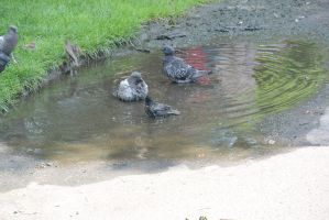 Bird Bath In the Puddle, the Gathering 9 by Miss-Tbones