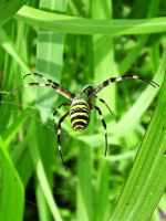 wasp spider by D-u-D