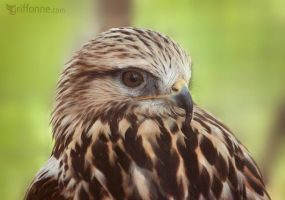 Bird of Prey I by joanniegoulet