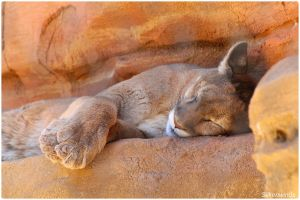 Let Sleeping Cougars Lie by SilkenWinds