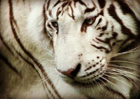 white tiger by cheshirecat84