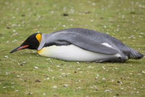 Too Tired Penguin by Stevehargen