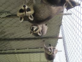 Young Raccoons 23a by Windthin