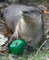 Otter has a green toy by jaffa-tamarin