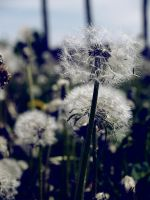 Dandelions by candesco