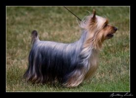 Silky Terrier by StrictlyCanine-SI