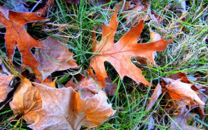 Frosty Leaves:  Oak Mix by Foxytocin