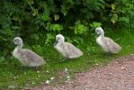 Cygnets on a route march by Steve-FraserUK